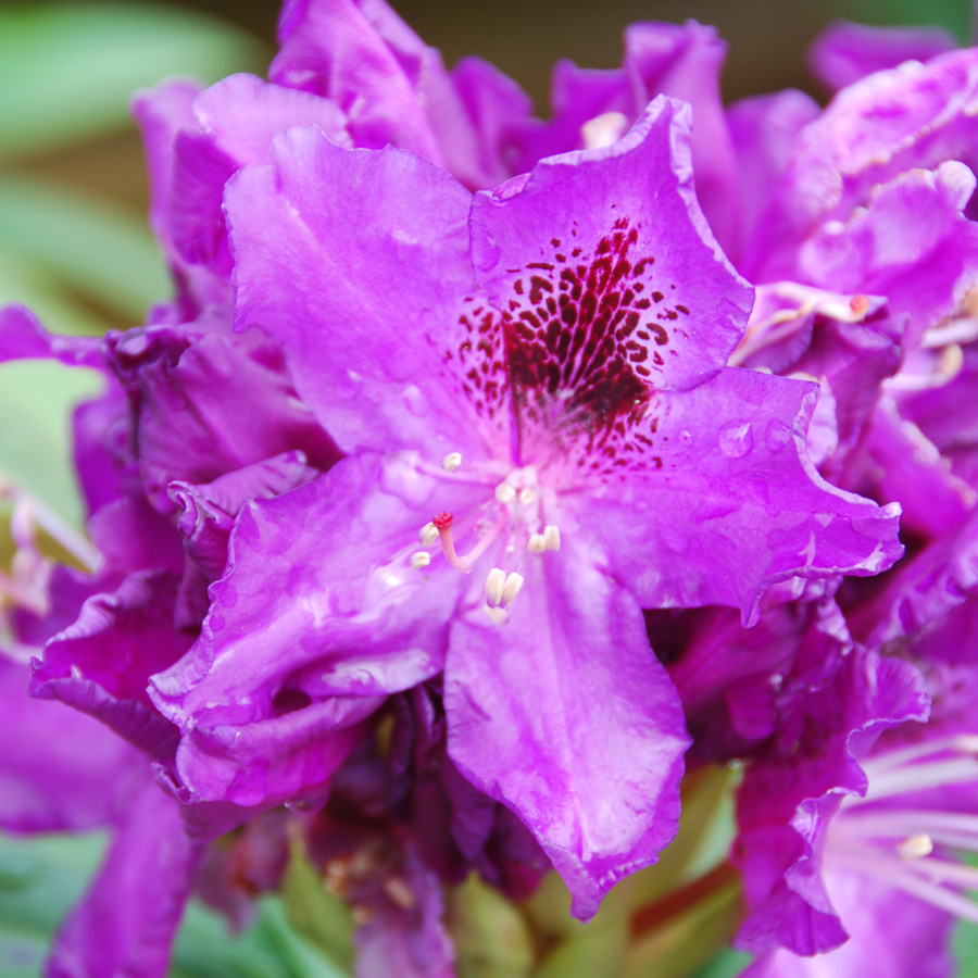 Rhododendron 'Blue Boy'