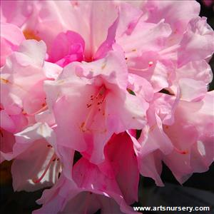 Rhododendron 'Cary Ann'