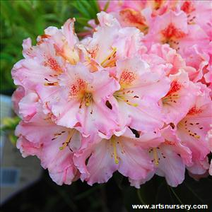 Rhododendron 'Coral Mist'