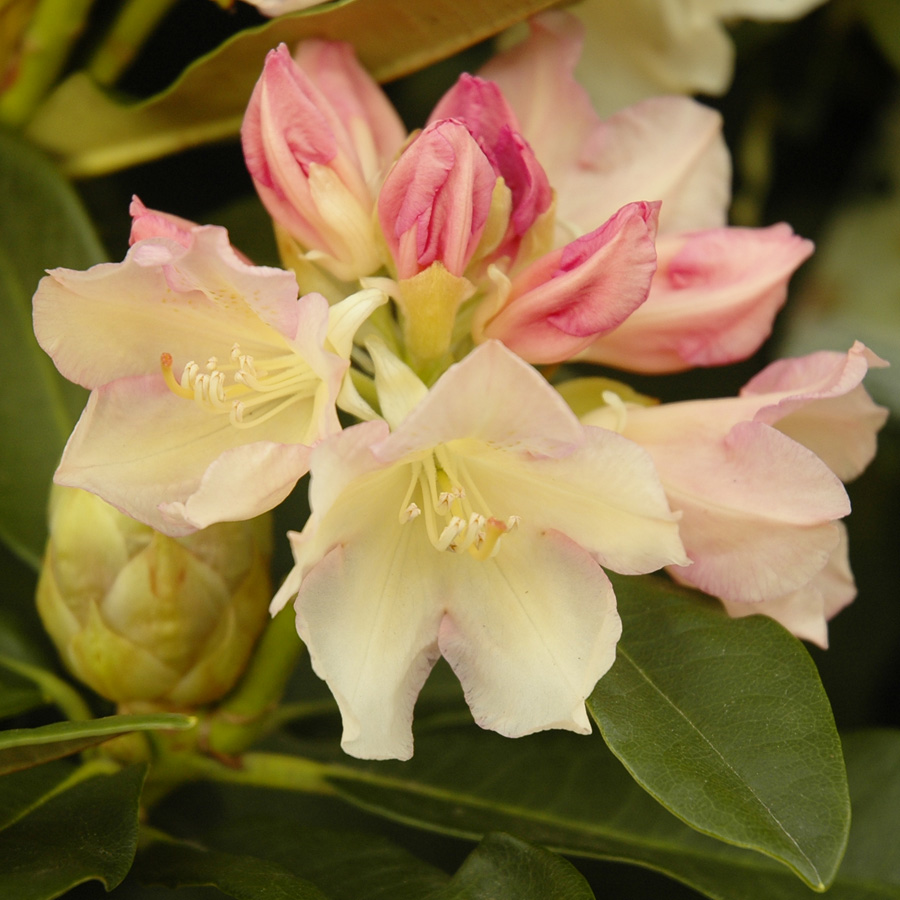 Rhododendron 'Golden Torch'