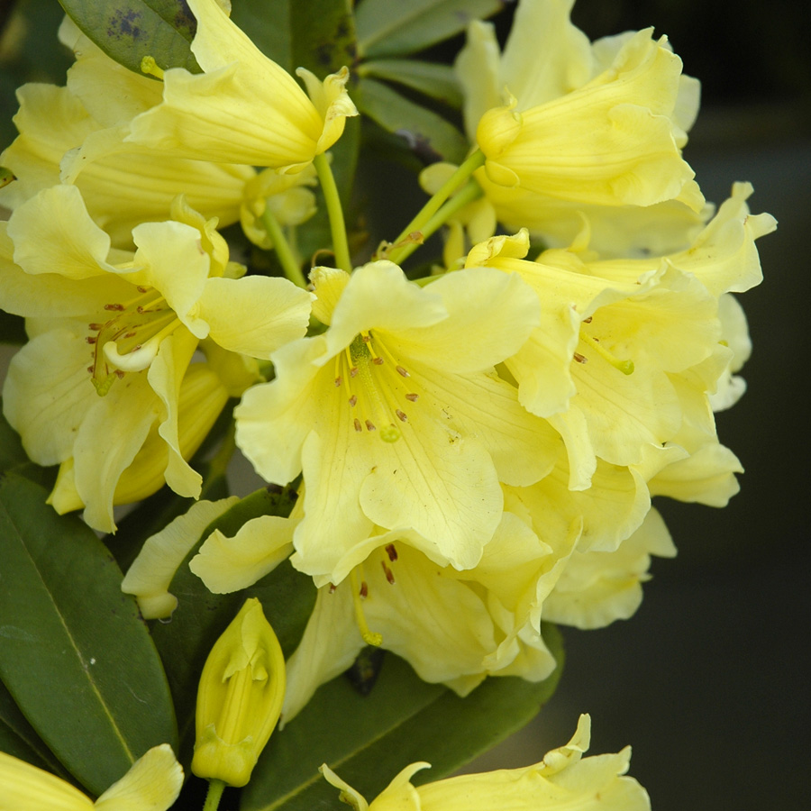 Rhododendron 'Hotei'