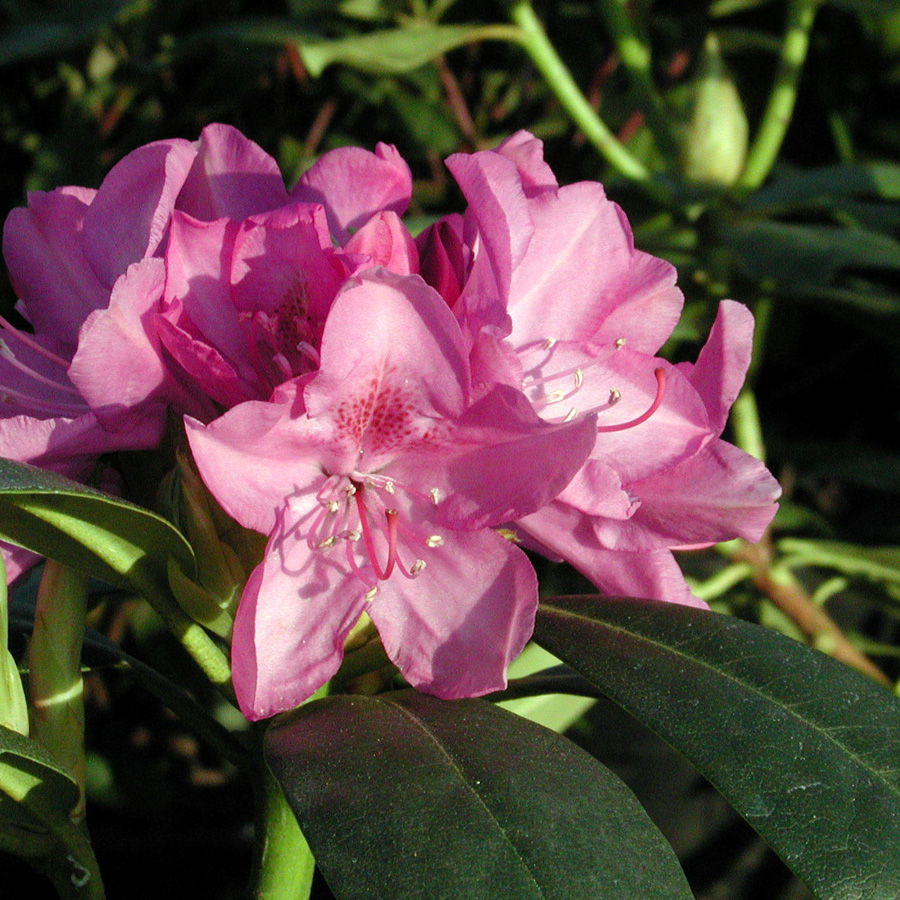 Rhododendron 'Roseum Pink'