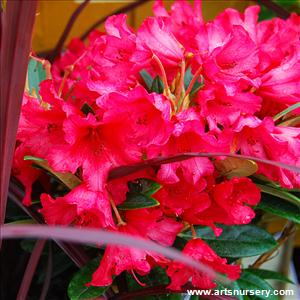 Rhododendron 'Titan Beauty'