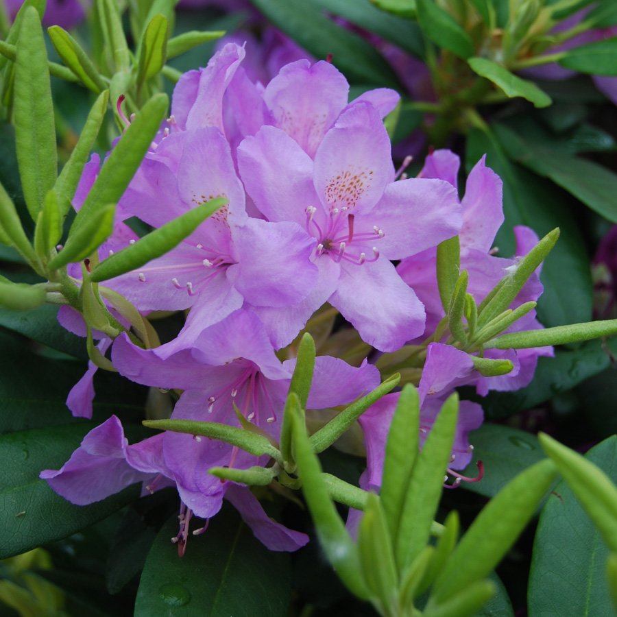 Rhododendron 'Catawbiense Boursault'
