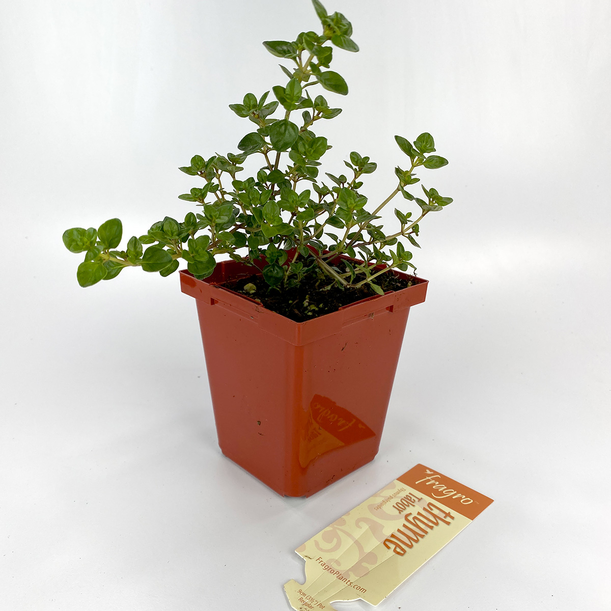 Thyme Tabor 4in