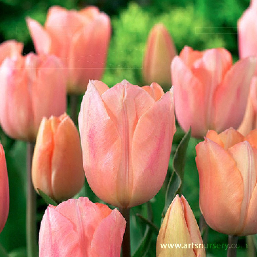 Tulipa 'Apricot Beauty' Bulbs