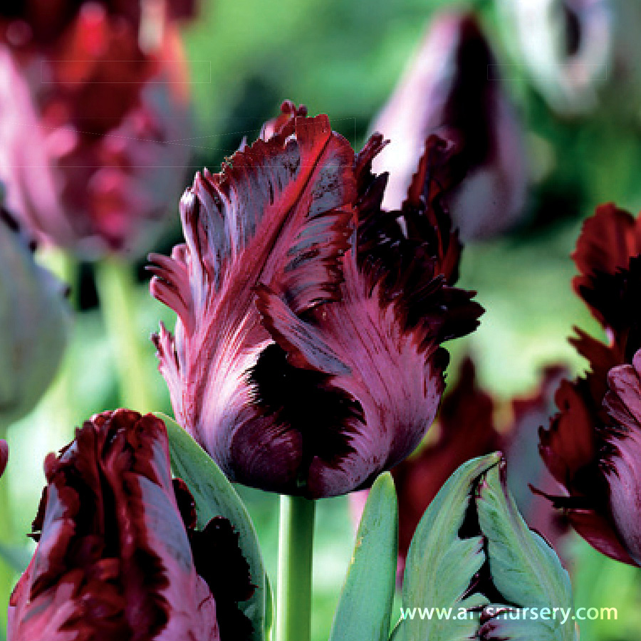 Tulipa 'Black Parrot' Bulbs