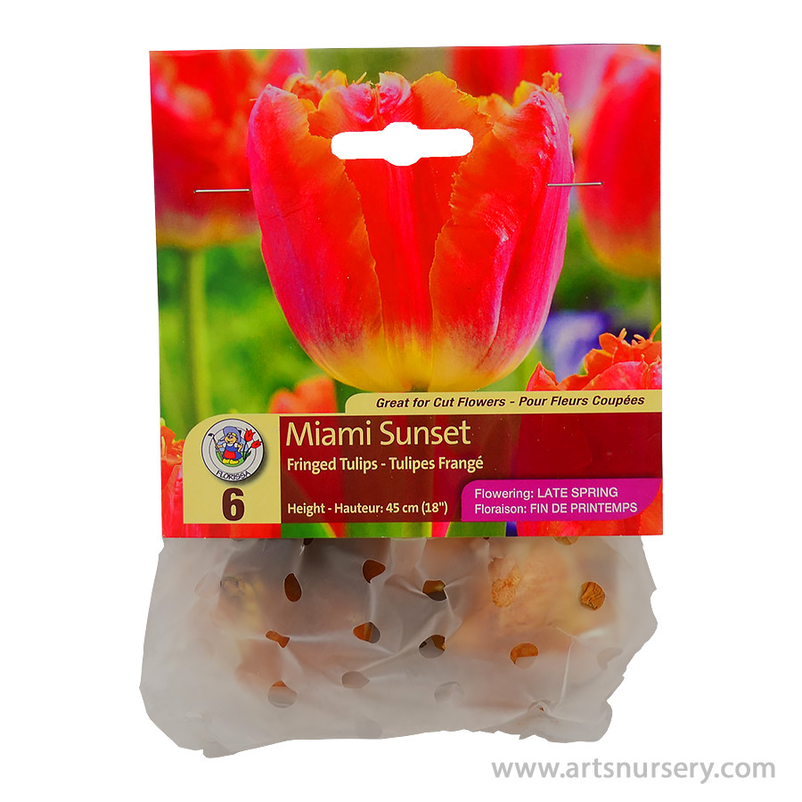 Tulipa 'Fringed Miami Sunset' Bulbs