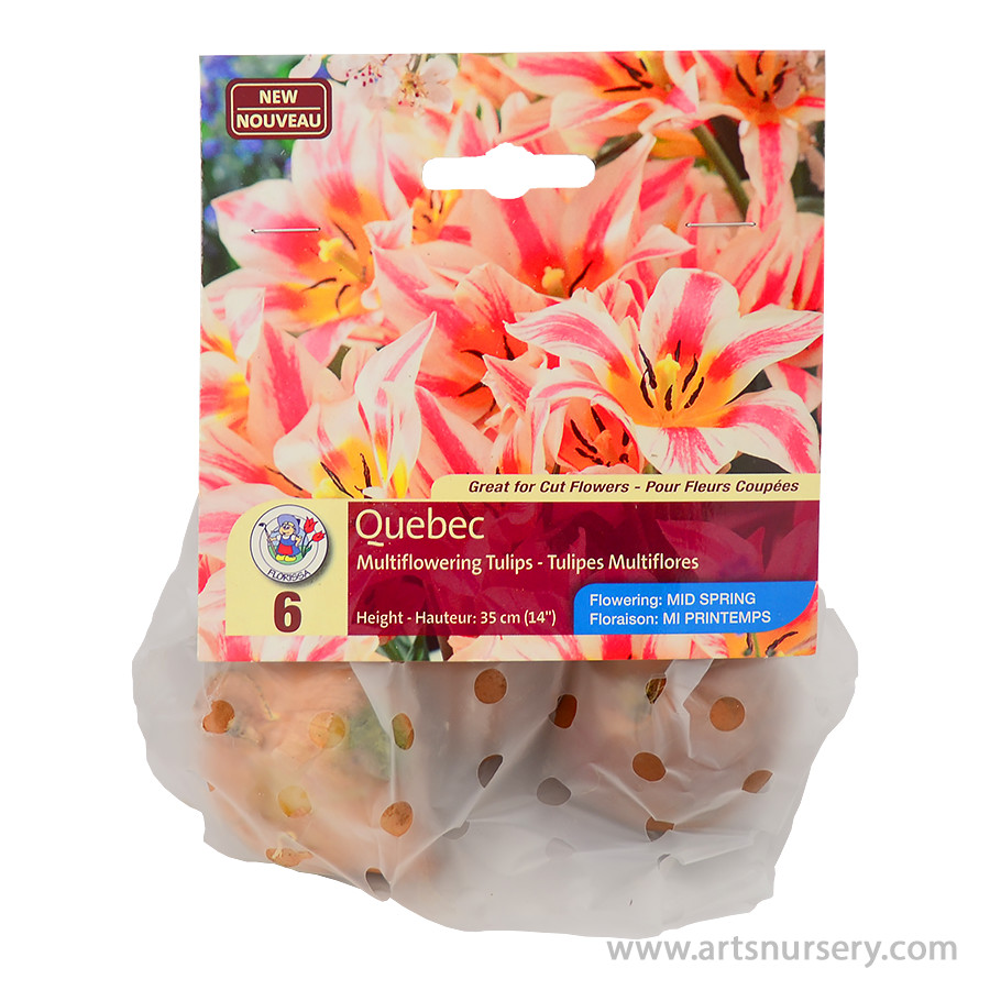 Quebec Multi Flowering Tulip Bulbs