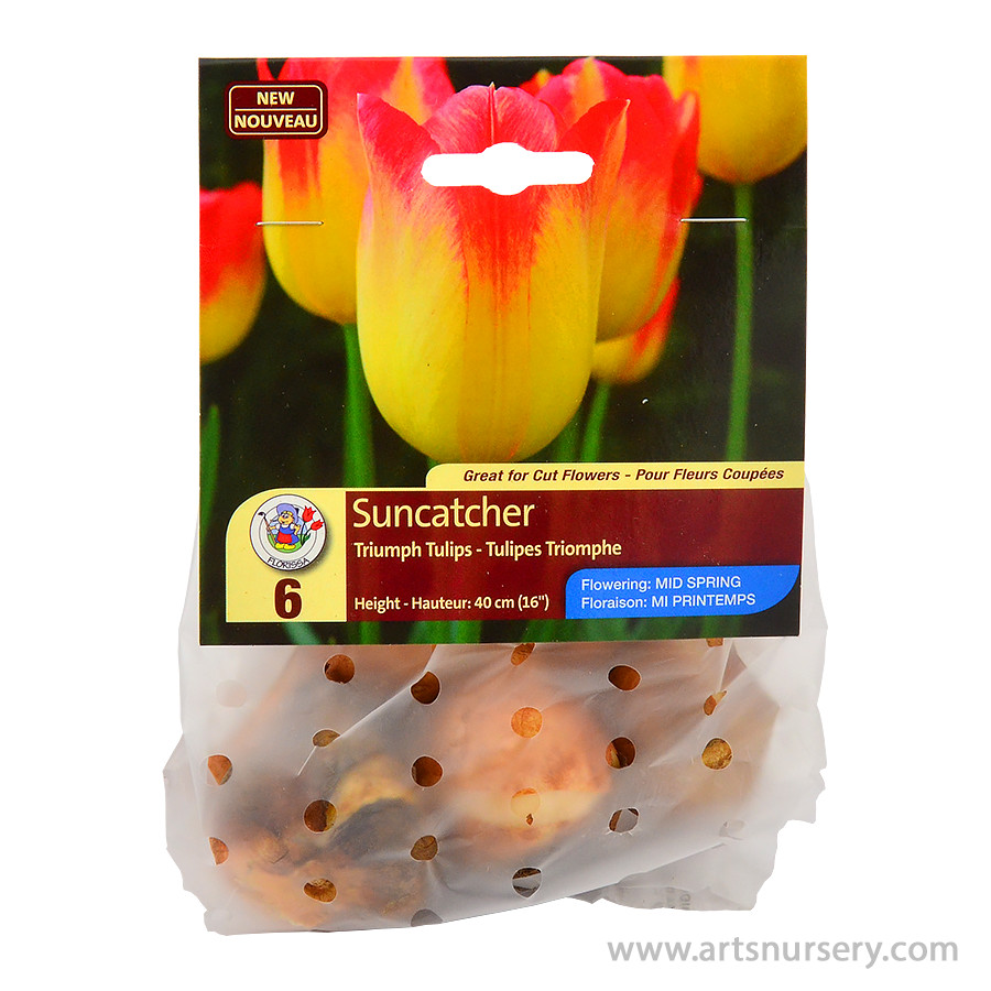 Suncatcher Triumph Tulip Bulbs