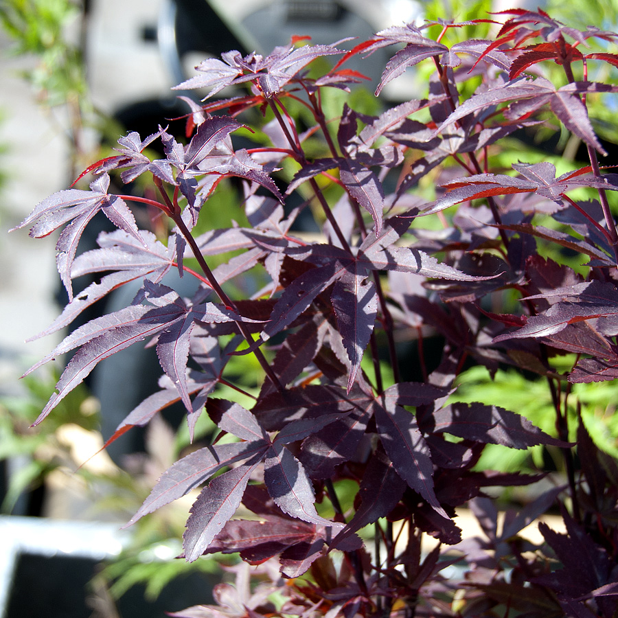 Acer palmatum 'Twombly'sScarlet Sentinel'