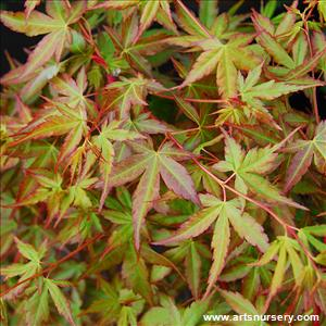 Acer Palmatum 'Winter Orange'