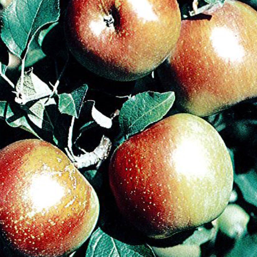 Apple 'Red Fuji'