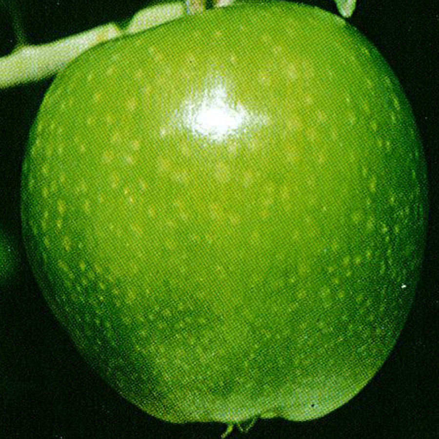 Apple 'Granny Smith'