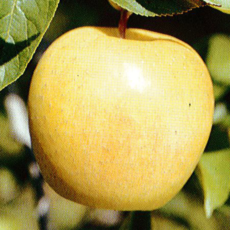 Apple 'Yellow Delicious'