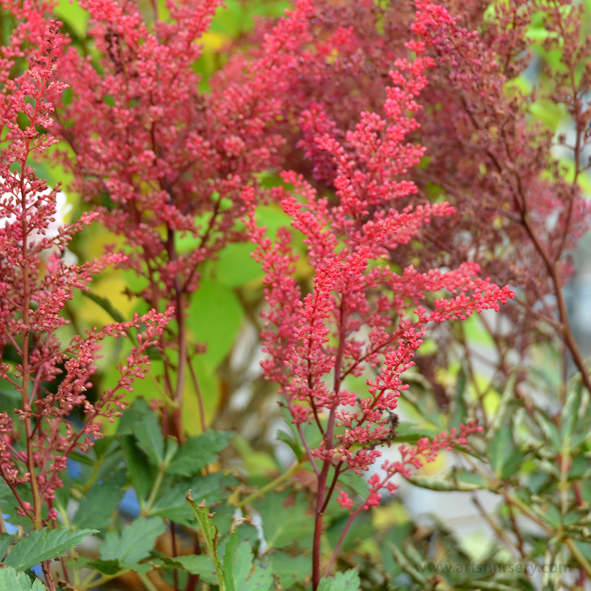 Astilbe x arendsii 'Red Sentinel'