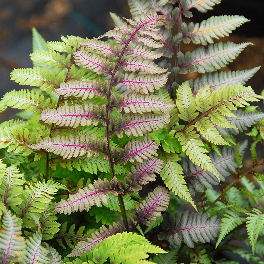Athyrium niponiccum 'Red Beauty'
