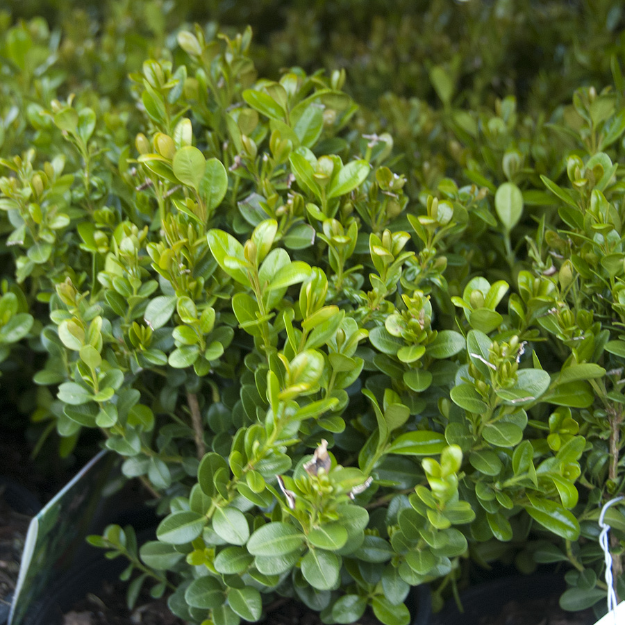 Buxus microphylla 'Baby Gem'