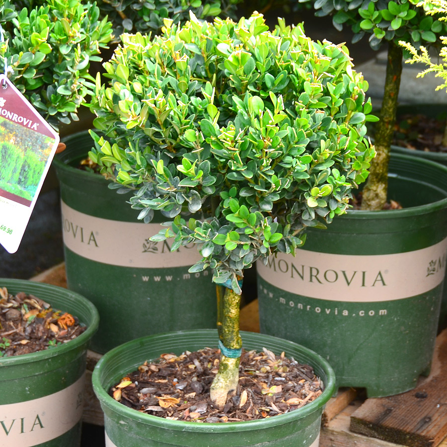 Buxus 'Green Mountain' Standard