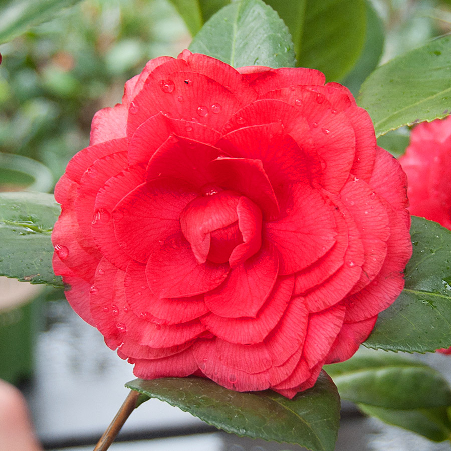 Recent plant and product arrivals to arts nursery for Camelia rossa