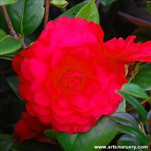 Camellia 39 nuccios bella rossa 39 for Camelia rossa