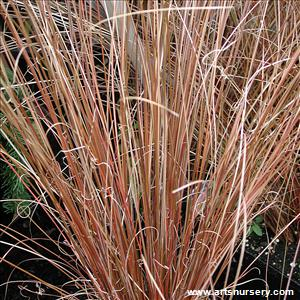 Carex buchanannii