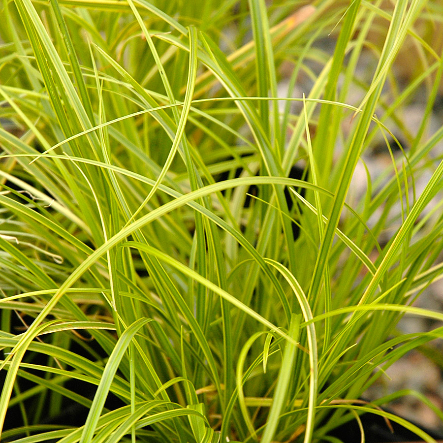 Carex dolichostachya 'Gold Fountains'