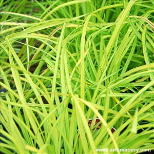 Carex Elata Bowles Golden