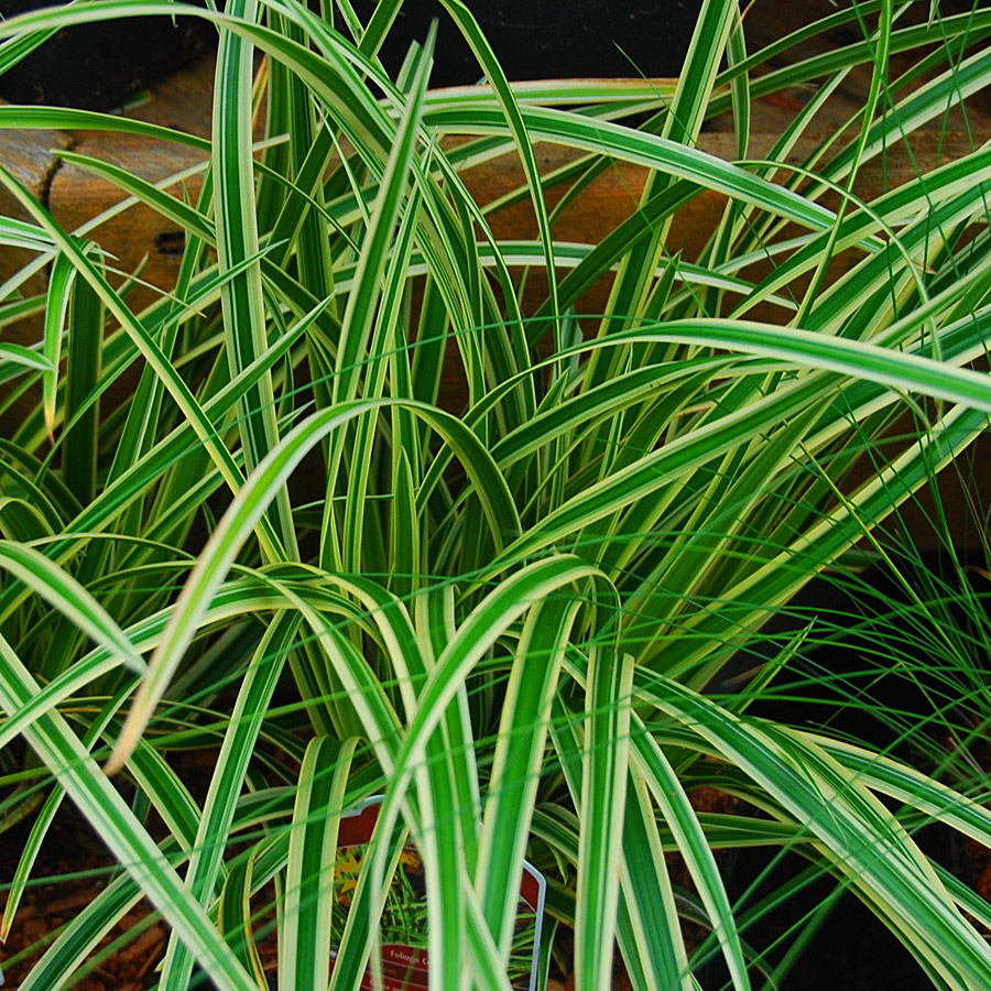 Carex morrowii 'Ice Ballet'