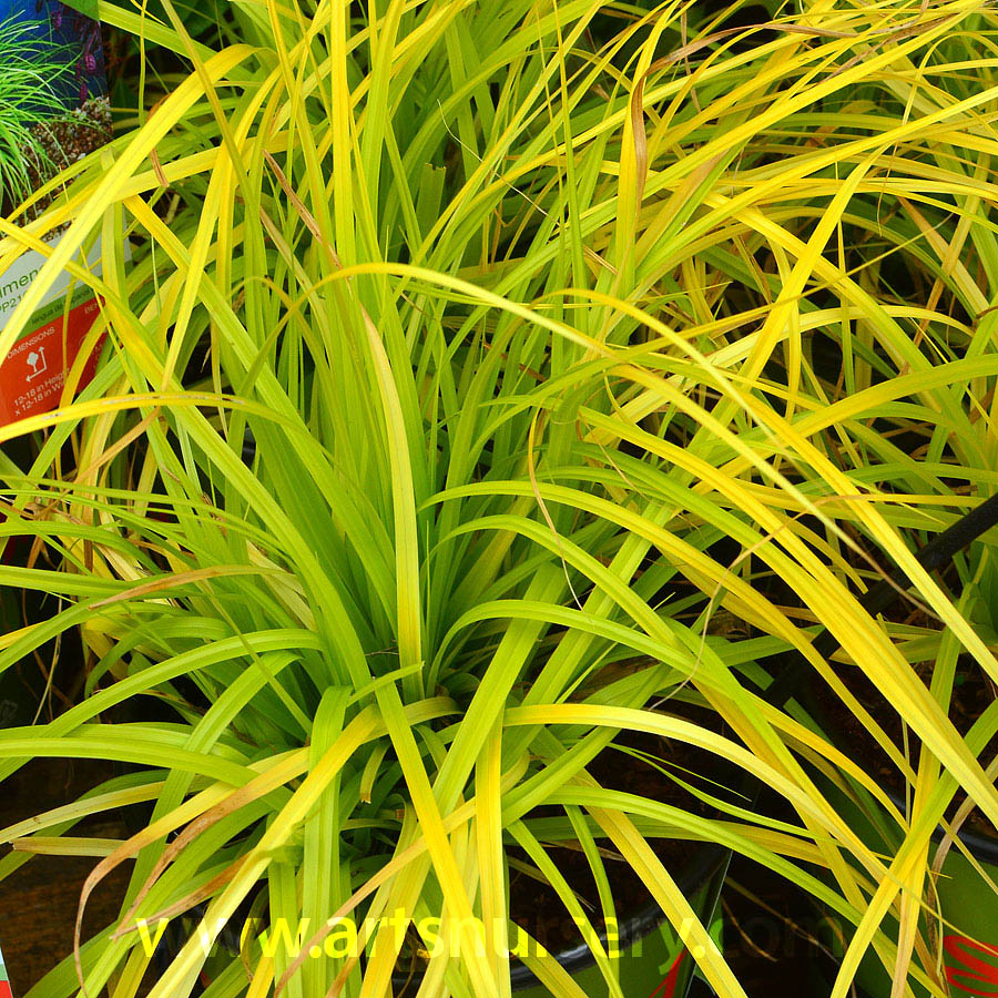 Carex oshimensis EverColor 'Everillo'