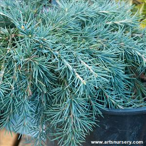 Cedrus deodora 'Feeling Blue'