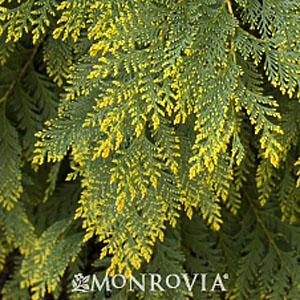 Chamaecyparis lawsoniana 'Golden King'