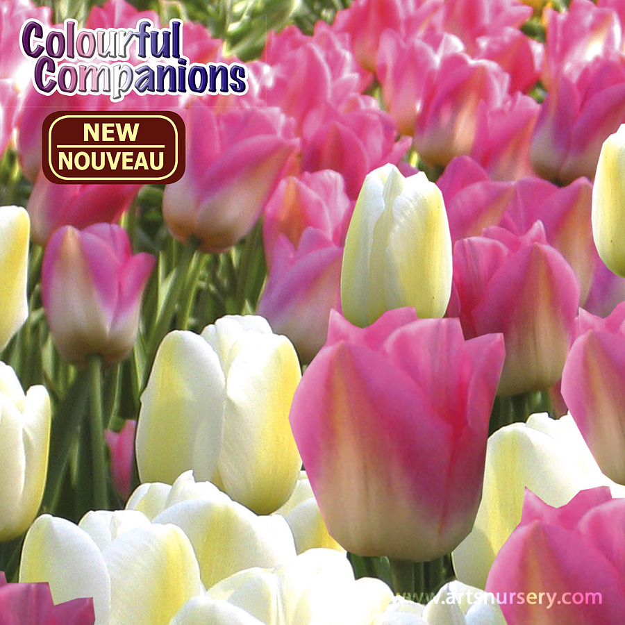 Colourful Companions 'Day Dreamin' Bulbs