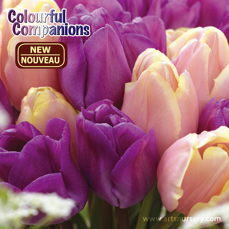 Colourful Companions 'Lavender Charm' Bulbs