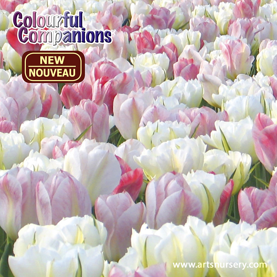 Colourful Companions 'Sweet Dreams' Bulbs