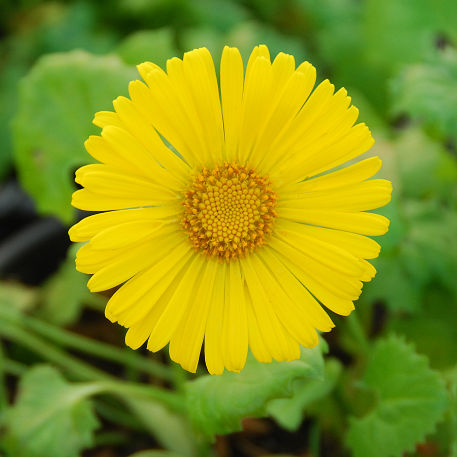 Little Leo S Nursery Fit For A King: Doronicum Little Leo