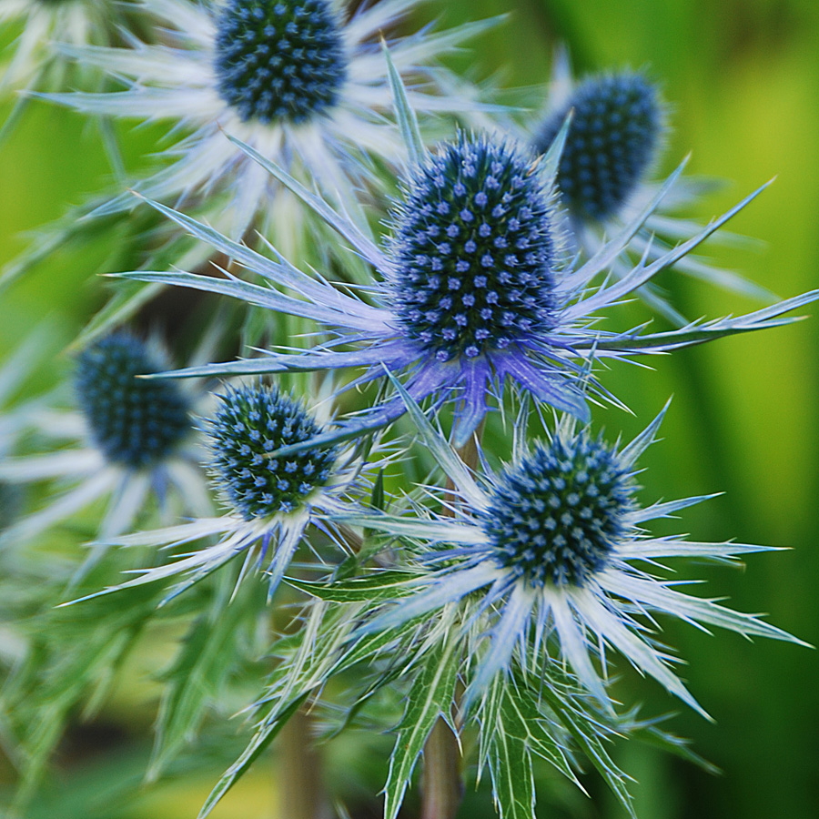 Perennials for hot and dry locations arts nursery ltd eryngium or sea holly as it is more commonly known is an underused perennial with striking metallic gray to blue spiky flowers blue green toothed flowers izmirmasajfo