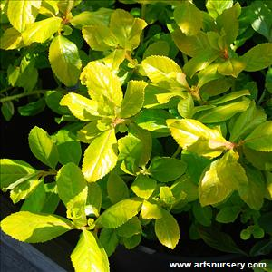 Escallonia exoniensis 'Gold Brian'