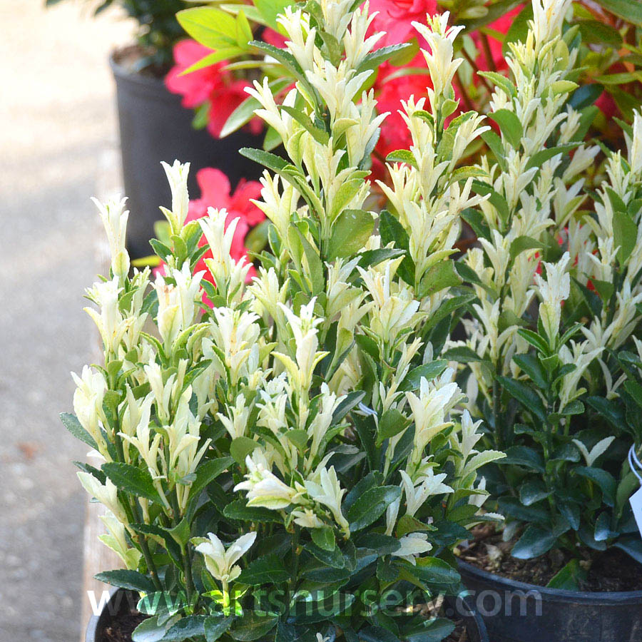 euonymus japonicus paloma blanca at arts nursery. Black Bedroom Furniture Sets. Home Design Ideas