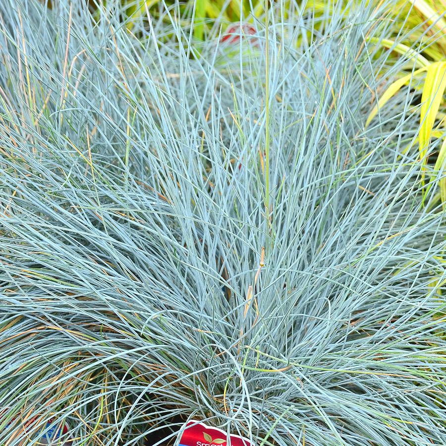 Festuca glauca 39 blue fox 39 ornamental grasses at arts for Blue ornamental grass