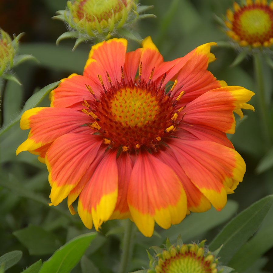 Perennials for hot and dry locations arts nursery ltd for Low maintenance flowers for sun