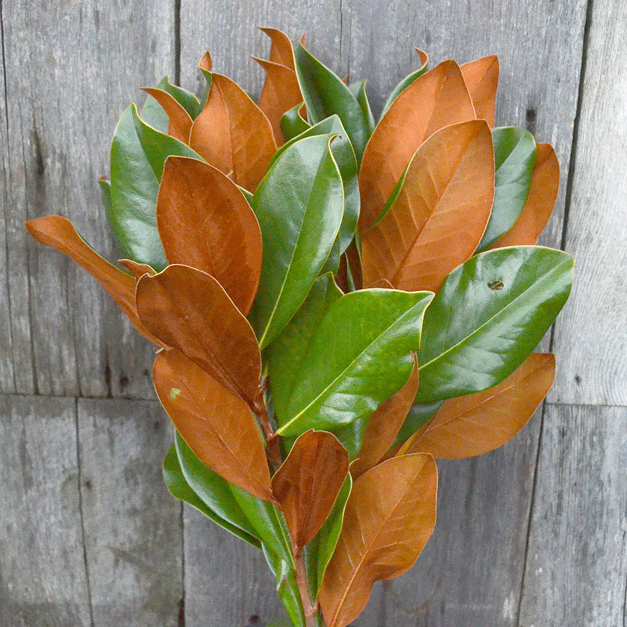 Evergreen Magnolia Stems