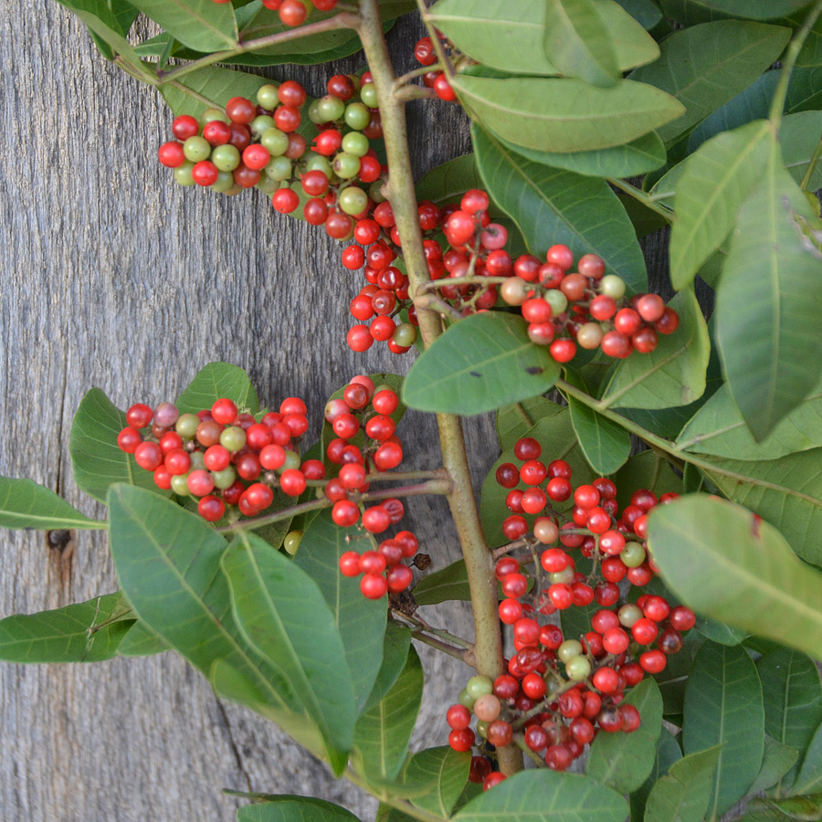 Peppercorn Branches