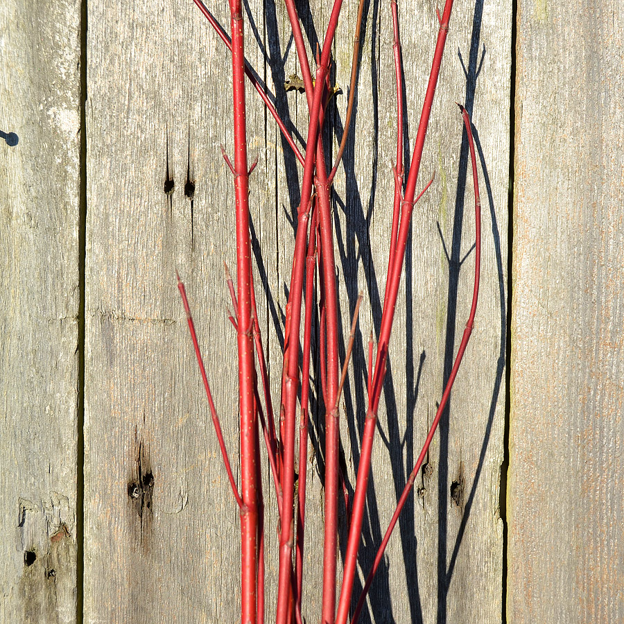 Red Dogwood Stems