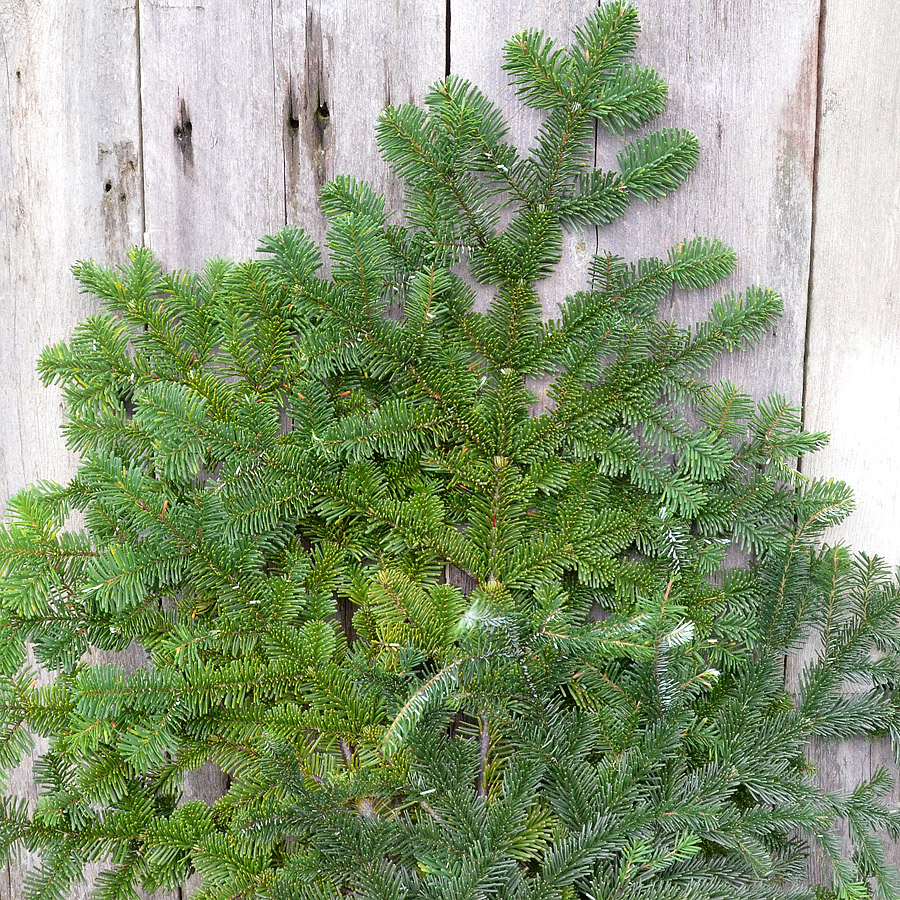 Silver Fir Boughs & Branches