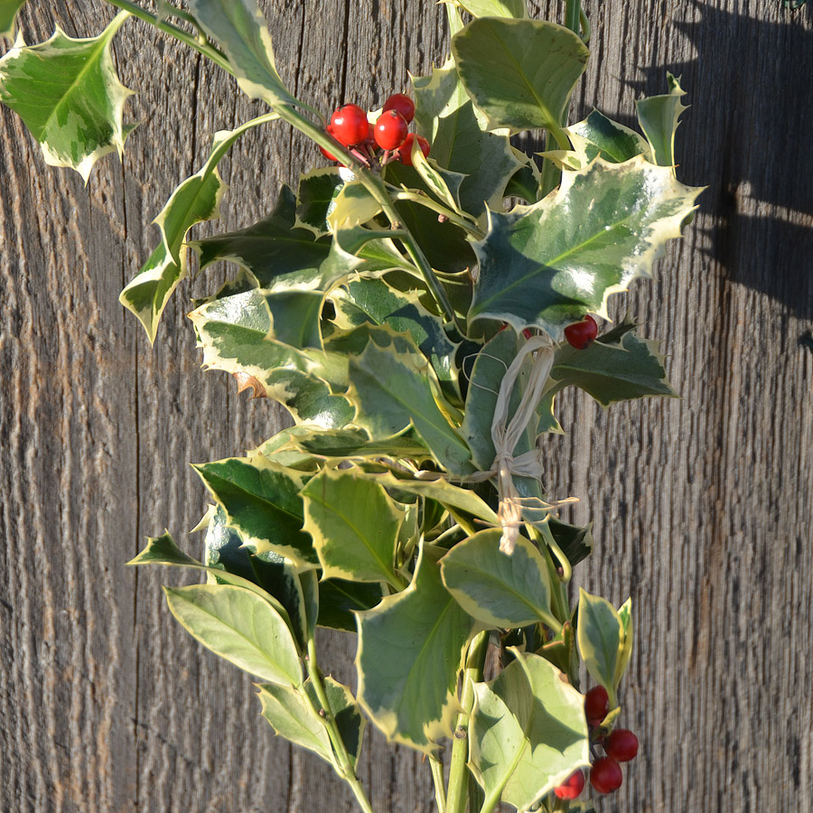 Variegated Holly Boughs