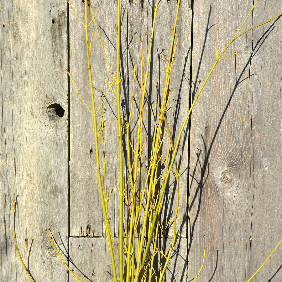 Yellow Dogwood Stems
