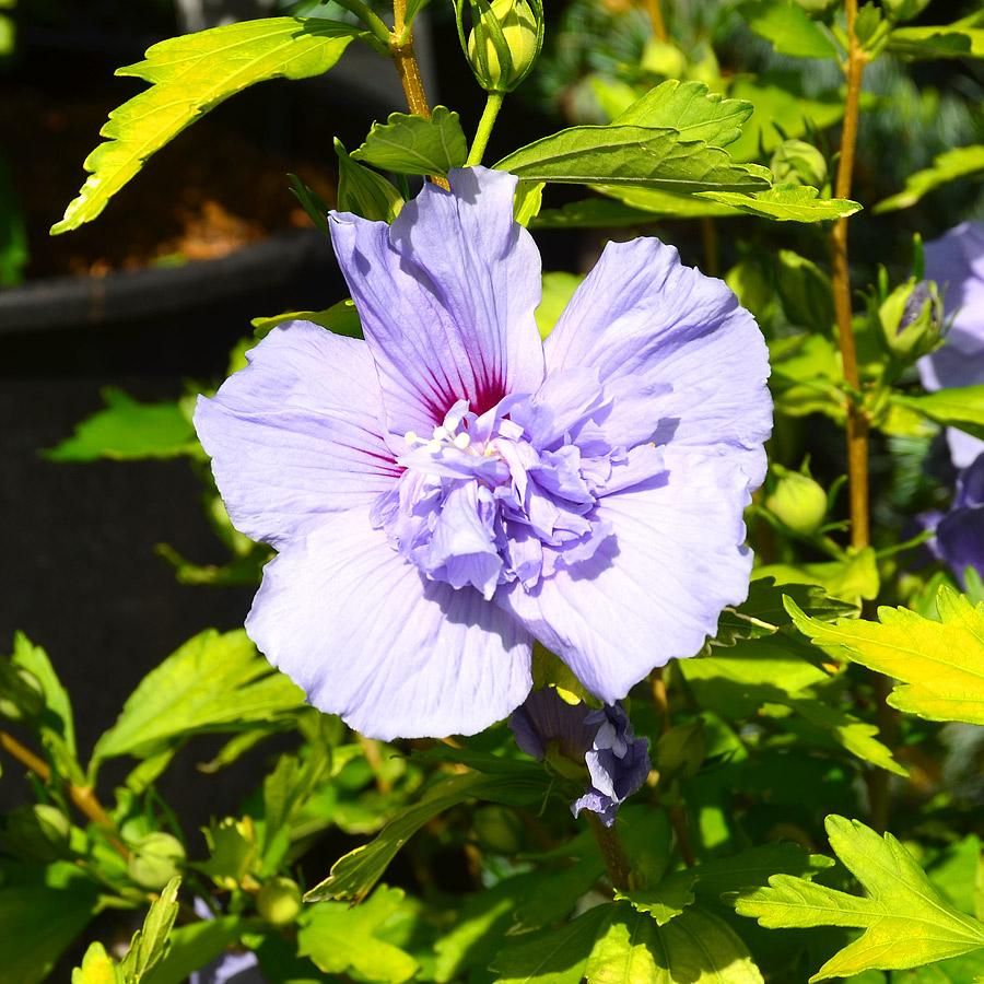 hibiscus syriacus 39 blue bird 39. Black Bedroom Furniture Sets. Home Design Ideas