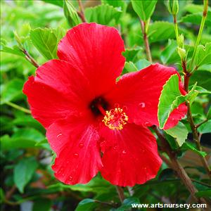 Hibiscus 'Brilliant'