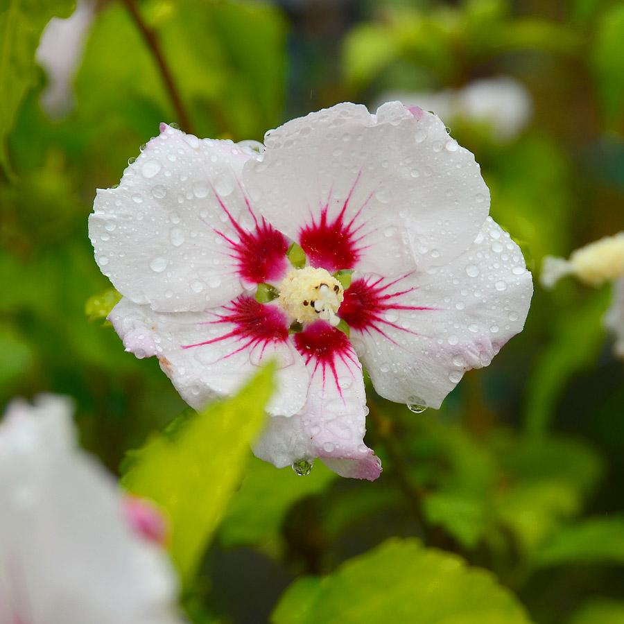 hibiscus syriacus 39 white chiffon 39. Black Bedroom Furniture Sets. Home Design Ideas
